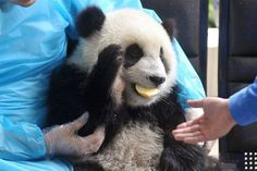 Giant panda cubs have fun at 'kindergarten' | Flickr - Photo Sharing!