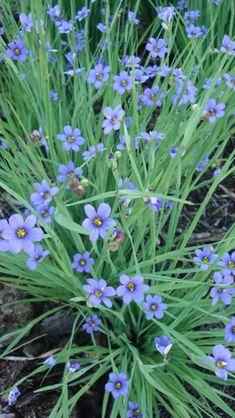 Prairie Blue-eye Grass, Minnesota native. Idea for around maple.