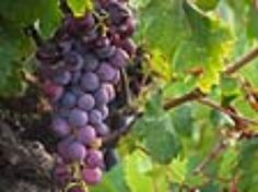 Winemaker guide to making homemade wine - Mother Earth News Homemade Wine Making, Homemade Wine Recipes, How To Make Homemade, Real Food Recipes, Make Your Own Wine, Mother Earth News, Vegetable Drinks, Wine And Beer, Wine And Spirits