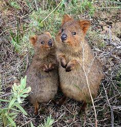 The Quokka: Cuteness Level, Default Happy Animals, Cute Funny Animals, Animals And Pets, Mundo Animal, My Animal, Beautiful Creatures, Animals Beautiful, Quokka, Australian Animals