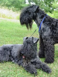 kerry blue terrier photo | kerry blue terrier3.jpg