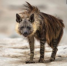 "The brown #hyena is also known as the ""strand wolf"" and is the rarest species of hyena. There are less than 10 thousand left in the wild. : hyenas"