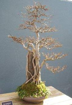 BONSAI KASKUS ; Forum sharing & diskusi seputar seni bonsai Indonesia | Kaskus - The Largest Indonesian Community