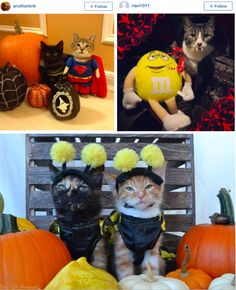 Cats in Halloween Costumes - too cute! http://ihavecat.com/2014/10/31/happy-all-hallows-eve  #cats #halloween #halloweencostumes #catsincostume #halloweencats #thegodfathercat #godfather #Thegodfather #petco #makeascene #petcomakeascene #catcostumes