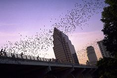 Bats leaving Congress Ave. Bridge