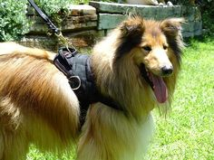 Take a look at  this Nobel Breed wearing #Nylon #Harness