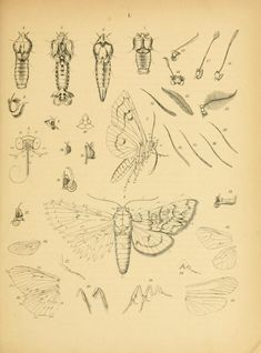 Anatomy of a Moth. Original antique botanical print by W. Insect Anatomy, Anatomy Art, Animal Anatomy, Insect Tattoo, Moth Tattoo, Bug Tattoo, Moth Drawing, Butterfly Drawing, Butterfly Body Parts