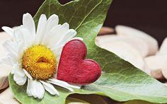 Marguerite, daisy white, heart, flowers wallpaper
