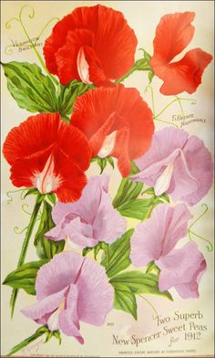 Smithsonian Collections Blog: Victory is Sweet (Peas)