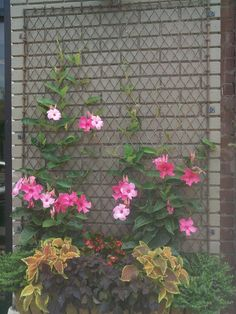 Free and beautiful chain link fence reused as a trellis - might be duplicate - transferring over MikeLike images
