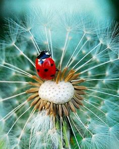 Lady Bug on a Dandelion. My two favorite things ! Beautiful Creatures, Animals Beautiful, Cute Animals, Beautiful Bugs, Amazing Nature, Beautiful Pictures, Photo Coccinelle, Foto Poster, Fotografia Macro