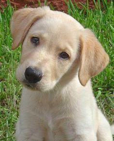 Labrador Retriever, I need a puppy in my life