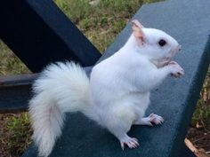 this park we went to today was full of very fat (for florida), very fluffy squirrels, at least 3 of which were completely white but not albino. i had never seen white squirrels like this before! they...
