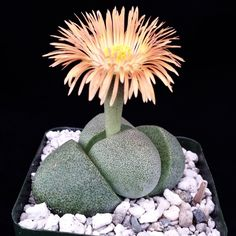This plant comes in a 2 3/4 inch pot You will receive a very similar plant to the one on the picture. It may or may not be blooming at the time of your purchase. This plant is shipped in its pot to pr