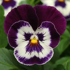 Pansy 'Purple Face'