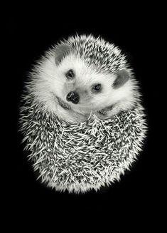 CUTE LITTLE HEDGEHOG! #babyhedgehogs