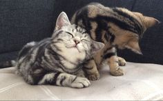 British shorthairs, kitten, cat, Golden tabby blotched, Silver tabby blotched