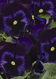 Viola violetas pensamiento las flores de todos colores. Las flores de todos colores para todo el año  Las hay en azul y hasta flores negras    ¿Cuánto cuestan los pensamientos?   Si estás pensando en comprar una flores de... Black Flowers, Violets, Blue Nails, Succulents, Plants, Flower Template