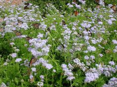 This stunning perennial is native to Texas and the Monarchs love it! Ideal food source for their fall migration. Gregg's Blue Mistflower (Eupatorium greggi). #butterflies, #flowers, #garden