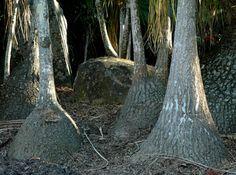 Beaucarnea recurvata, Lotusland