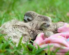 PHOTOS: Paralyzed baby sloth thrives in Manuel Antonio rescue center – The Tico Times | Costa Rica News | Travel | Real Estate