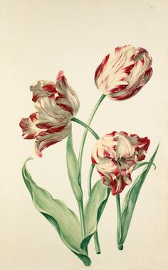 Watercolour on paper of Tulipa attributed to the artist August Wilhelm Sievert. From an album of bound watercolours and drawings titled 'Hortus florum imaginum' dating from c.1730. Creator Sievert, August Wilhelm ( -1751) (Artist) (attrib.)
