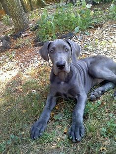 Blue Great Dane. we are so getting one when we have our own house:D