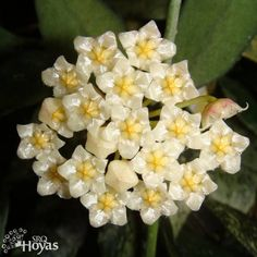 Hoya lacunosa 'Royal Flush' Cutting [SRQ 3100] - $8.00 : Buy Hoya Plants and Hoya Cuttings Today!