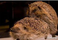 One pair mating hedgehog.