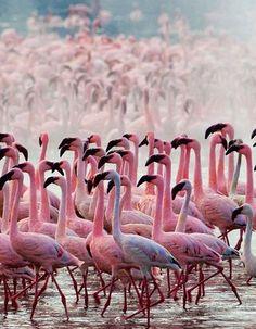 Thousands of Pink Flamingos at Lake Nakuru, Kenya by Martin Harvey.