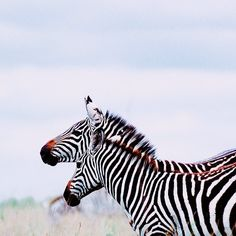 Zebras in Nairobi National Park. Photo by Mutua Matheka. http://instagram.com/p/p0O4PLo9ep www.mutua.matheka.co.ke