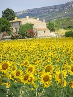 Provence via Flickr #flowers #mountain #field