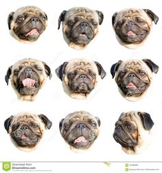 Emoji Set, Pug Life, Pugs, French Bulldog, Stock Photos, Portrait, Animals, Image, Animales