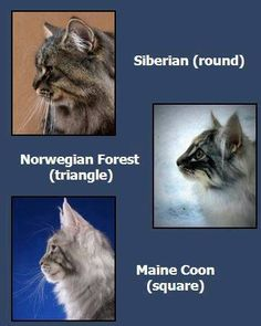 cats, siberian, and norwegian forest cat image