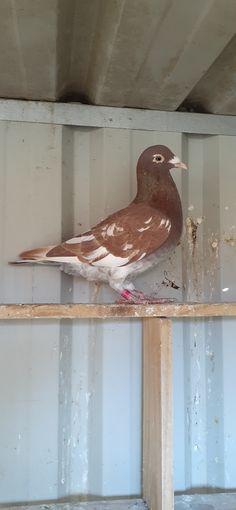 Racing Pigeons, Haiku, Bird, Chicano Art, Birds