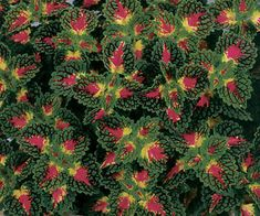 Houseplants for Better Sleep Strawberry Drop Coleus Colorful Green Leaves Have Red Venation With A Bright Red And Yellow Center Award Winner Adaptable As Houseplant Foliage Interest Heat Tolerant Deadheading Not Necessary Garden Height: 16 Inches Spacing: Outdoor Landscaping, Outdoor Plants, Outdoor Gardens, Begonia, Shade Garden, Garden Plants, Colorful Plants, Foliage Plants, Shade Plants