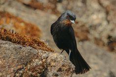 Foto maria-preta-de-garganta-vermelha (Knipolegus nigerrimus) por Henrique Moreira