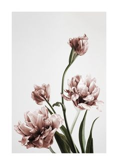 Pink Tulipe no3 Poster in the group Posters & Prints / Sizes / 50x70cm | 19,7x27,6 at Desenio AB (2121)