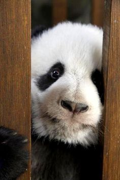 Um...uh....well...who me? Are you sure it was I who took the pitcher Pijon? Little sweet CUTE meee? No way. Not on my watch. Oh ok, yes,  forgetful panda strikes again. Don't break up with me.