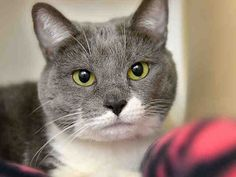 PetHarbor.com:  	STAR - ID#A209891  I am a spayed female, gray and white Domestic Shorthair.  The shelter staff think I am about 5 years old and I weigh approximately 13 pounds.  I have been at the shelter since Jun 02, 2016. For more information about this animal, call: PETsMART - North Fayette Township at (412) 490-0191 Ask for information about animal ID number A209891