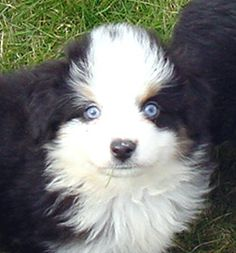 mini aussies | photos on this page are of adults or previous sold puppies - click on ...