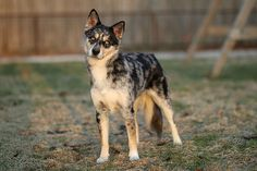 Aussie Siberian (Australian Shepherd X Siberian Husky) Looks just like my aussie/husky mix!