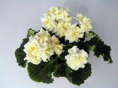 LE Oskar African Violet Plant Ukranian Variety Standart | eBay