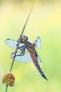 Four-spotted chaser -