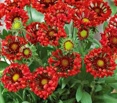 Tiny trumpet-shaped petals surround button eyes in molten shades of fiery red and orange. Sure to please, these 2–3″ pinwheels cover compact, sturdy plants all season long. An easy-care variety with excellent garden performance. PP 23,494  A genus of showy annuals and perennials native to South and North America, Gaillardia is grown for its profuse, long-running show of blooms and its utter indifference to heat and drought once established. Plants need well-drained soil and plenty of sun to…