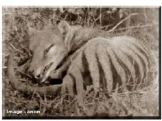 Thylacine Research Unit - Historical Photos