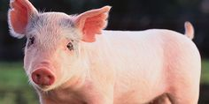 Demand justice for 500 pigs that died from heat stress at an Australian piggery