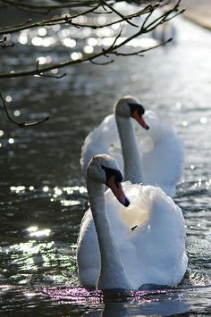 Two Mute Swans swimming forward