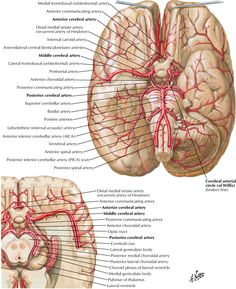 netter images - Google Search