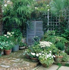 Small urban garden - False French wooden shutters on wall with trellis surrounded by pots of Begonia, Lilium, Hosta, Viola and Argyranthemum